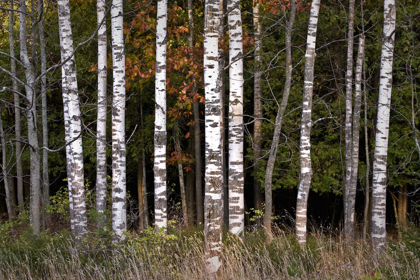 Landscape of birch trees