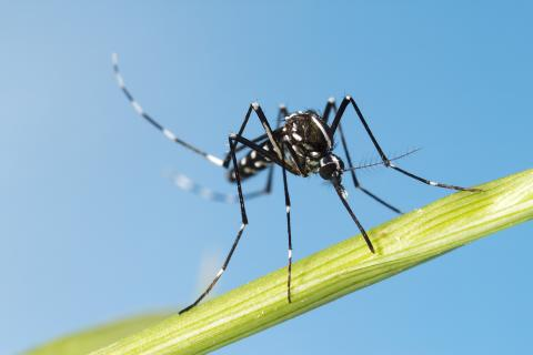 Asian Tiger Mosquito on stalk