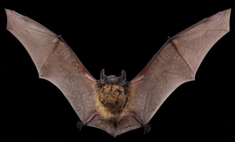 A brown bat with wings spread out.