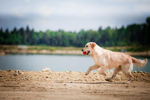 Golden Retriever running on a beach with a red ball