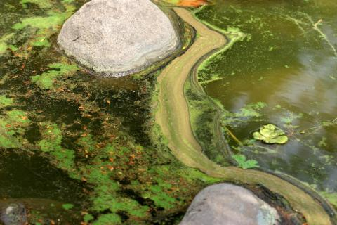Pond covered by algae
