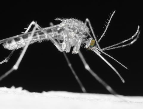Close-up of a mosquito