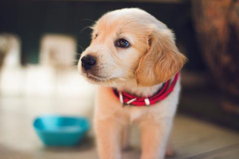 Close up of a puppy with a red collar
