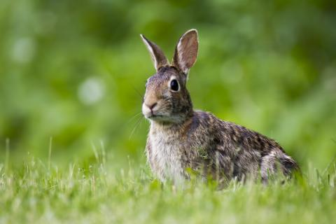 An alert rabbit sitting on grass outside