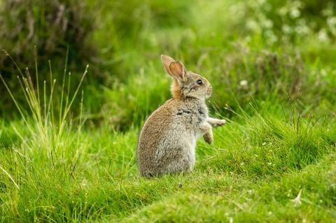 A young rabbit sitting on its hind feet facing sideway outside