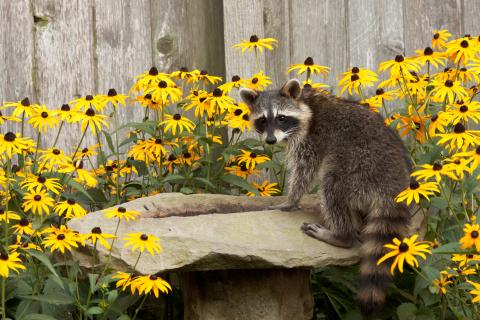 A raccoon sits on a bird bath surrounded by black eyed susan flowers.