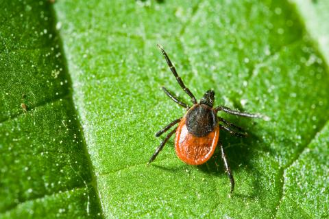 Tick rests on a leaf