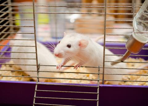 White rats in a cage