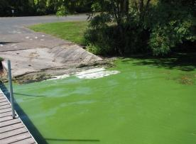 Blue-green algae floating by pier shore.